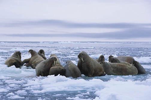 Walrus, (Odobenus rosmarus) Resting on iceberg off Baffin Island. Canada.