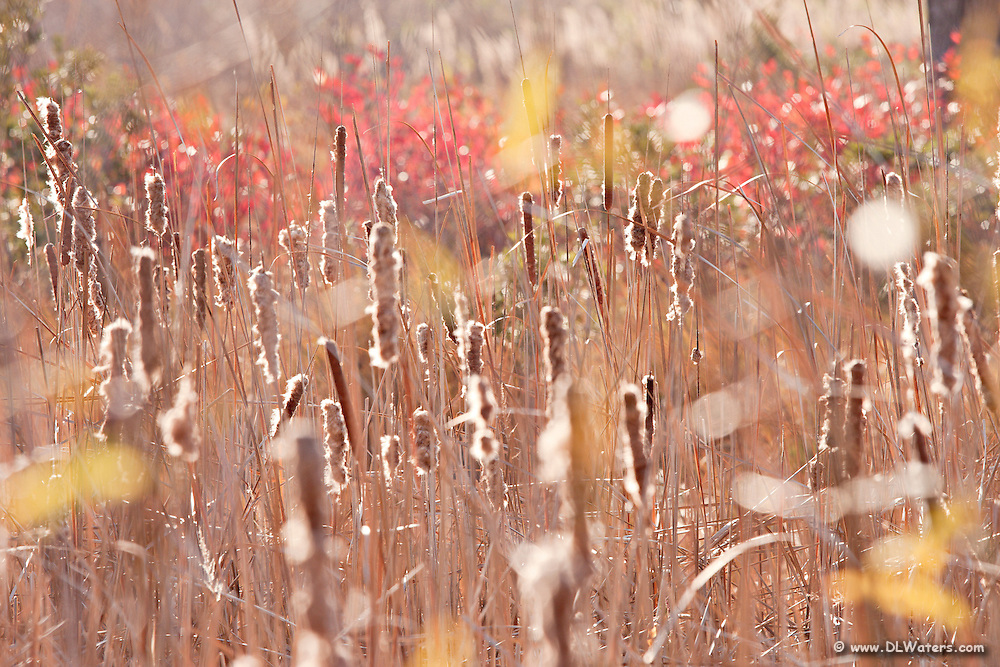 Cattails and fall colors.