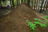 DEU, Deutschland: Ameisennest der Roten Waldameise (Formica polyctena) im Wald, Hoehe der Kuppel ca. 1,80 m, weiteres Nest im Hintergund, Guenterfuerst, Erbach, Hessen | DEU, Germany: Nest of European wood ants (Formica polyctena), high of the hill ca 1,80 meter, an other anthill in background, Gunterfurst, Erbach, Hesse |
