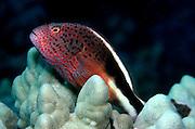 UNDERWATER MARINE LIFE HAWAII FISH: Redspotted hawkfish Cirrhitidae