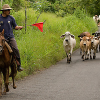 Farmer moving cattle down te roads of the town of Rincon Santo in the region of Ocu, Province of Herrera, Republic of Panama.  Ocu is an area of the country well known for the fabrication of typical Panamanian dress.