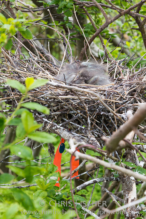 Black-crowned Night Heron chicks in their nest in the wading bird colony on Stratton Island, Maine.
