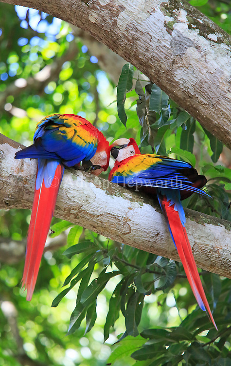 Pair of Scarlet Macaws (Ara macao) preening each other. Guanacaste, Costa Rica. <br /> <br /> For pricing click on ADD TO CART (above). We accept payments via PayPal.