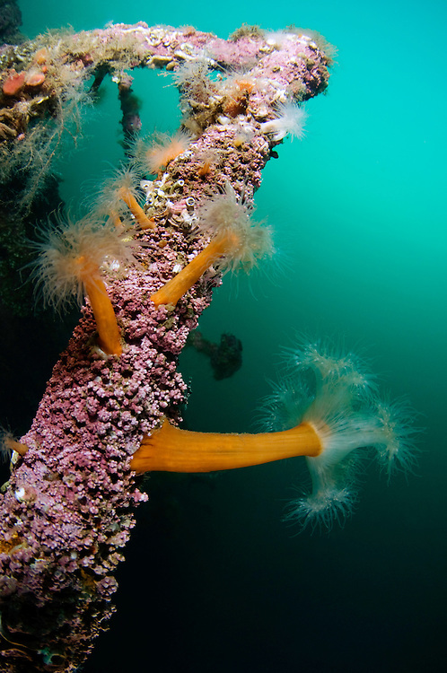 Plumose anemone, Metridium senile, on a ship wreck, Lofoten, Norway,