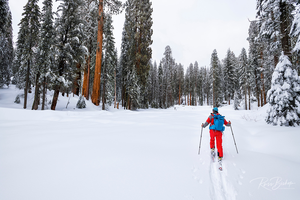 Skier in the Giant Forest, Sequoia National Park, California USA