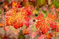 Red Vineyard Leaves During Fall Season in Alexander Valley, Healdsburg, California