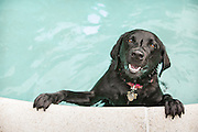 pet portrait, pet photographer, pet photography, Boston, MA, photographer, swimming pool, black lab