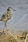 Greater Yellowlegs (Tringa melonoleuca)