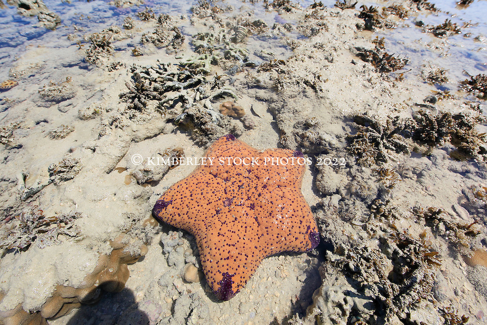 A pretty orange and purple Cushion star (Culchita schmideliana) on a sandy reef at the northern end of Augustus Island in Camden Sound.