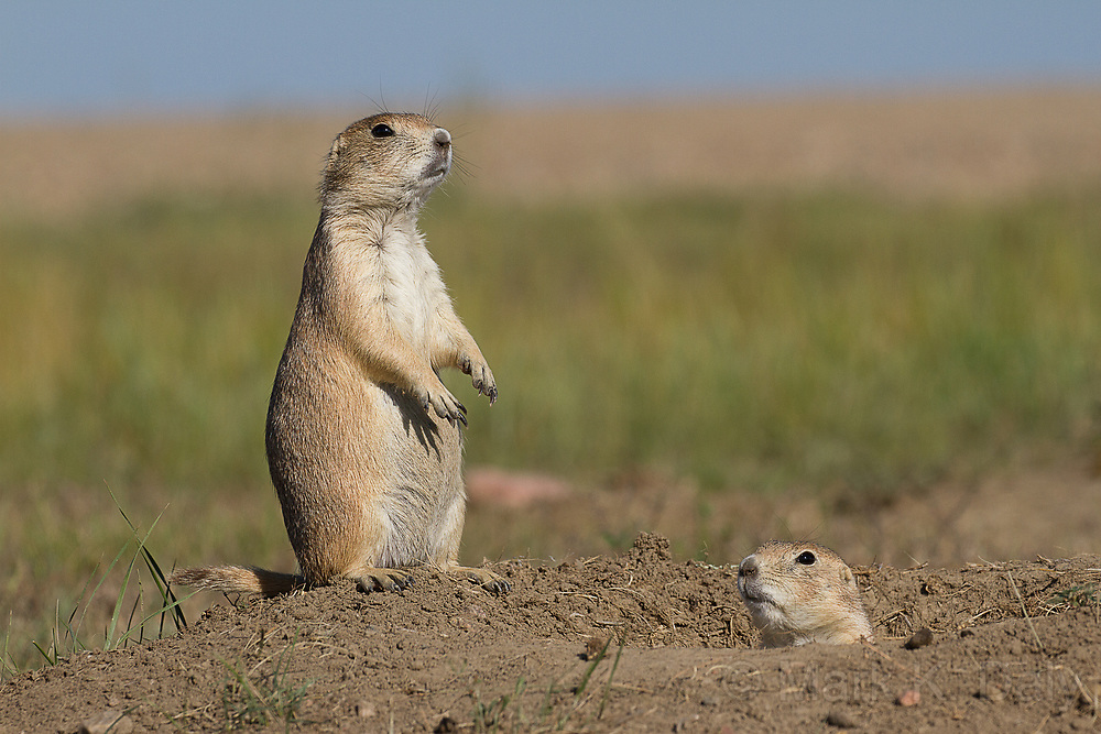 Black-tailed Prairie Dog, Southern Saskatchewan