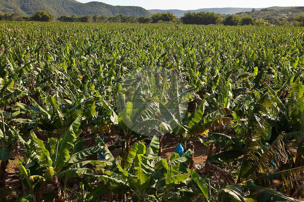 Banana plantation in Puerto Rico