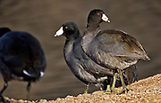 American coot wintering along the Snake River in eastern Washington