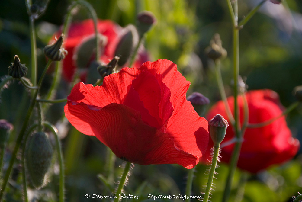 Close up on fragile red poppy flowers in a seed sown urban meadow by Pictoral Meadows Ltd, Manor Lodge, Sheffield, UK