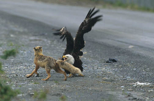 Bald Eagle, (Haliaeetus leucocephalus)  Adult and Red Fox face off. Fox repeatedly attacks eagle. Aleutian Islands. Alaska.