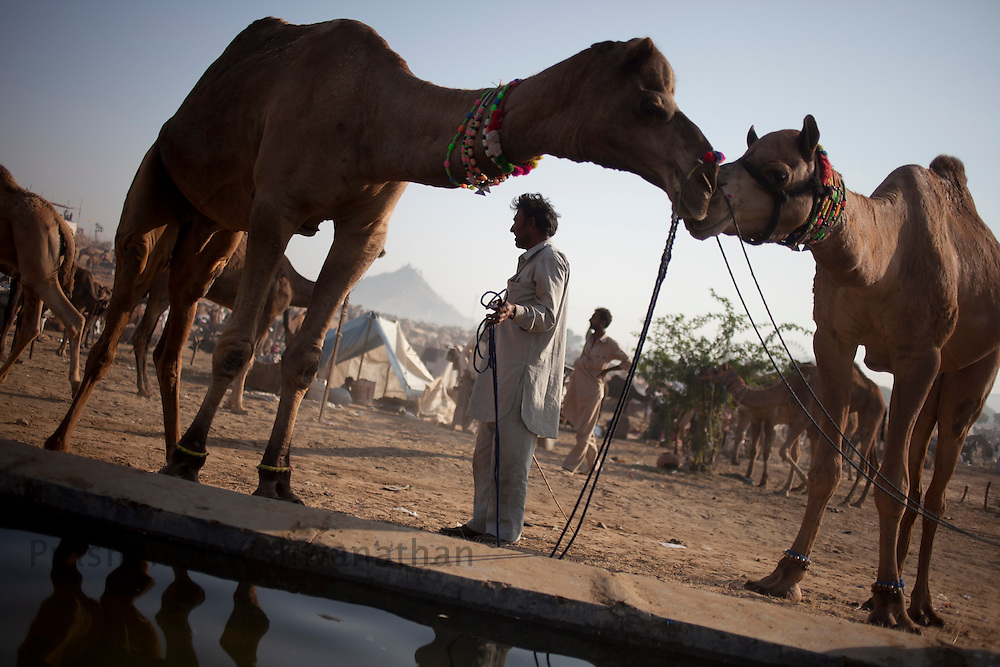 Two male camels bond at the water hole at the fair grounds in Pushkar, India, November 6, 2011.  Photographer: Prashanth Vishwanathan