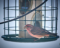 House Finch. Image taken with a Nikon D5 camera and 600 mm f/4 VR lens (ISO 100, 600 mm, f/4, 1/1250 sec).