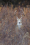 White-tailed Buck in Autumn, Western Montana