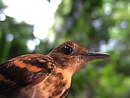 Barro Colorado es una isla localizada en el Lago Gatún del Canal de Panamá. Es un sitio protegido dedicado al estudio de los bosques tropicales y, junto a cinco penínsulas adyacentes, forman el Monumento Natural de Barro Colorado (MNBC), con un área de 54 Kilómetros cuadrados. Establecido el 17 de abril de 1923 el MNBC ha sido administrado por el instituto Smithsonian desde 1946. El Instituto de Investigaciones Tropicales del Smithsonian tiene un centro de investigación permanente, dedicado a estudiar los ecosistemas del bosque lluvioso. <br /> <br /> Se le considera un buen ejemplo de un ambiente natural con pocos cambios. La mayoría de la fauna ha desaparecido desde la formación del lago, pues la población de la isla fue insuficiente para ser viable.<br /> <br /> La isla fue formada cuando las aguas del Río Chagres fueron represadas para formar el lago gatun, necesario para el funcionamiento del canal. <br /> <br /> Cuando se levantaron las aguas cubrieron una parte significativa del bosque existente, y las cimas de las montañas se convirtieron en islas en el medio del lago.<br /> <br /> Anualmente cerca de 200 científicos de todo el mundo realizan investigaciones en Barro Colorado.<br /> <br /> ©Alejandro Balaguer/Fundación Albatros Media.