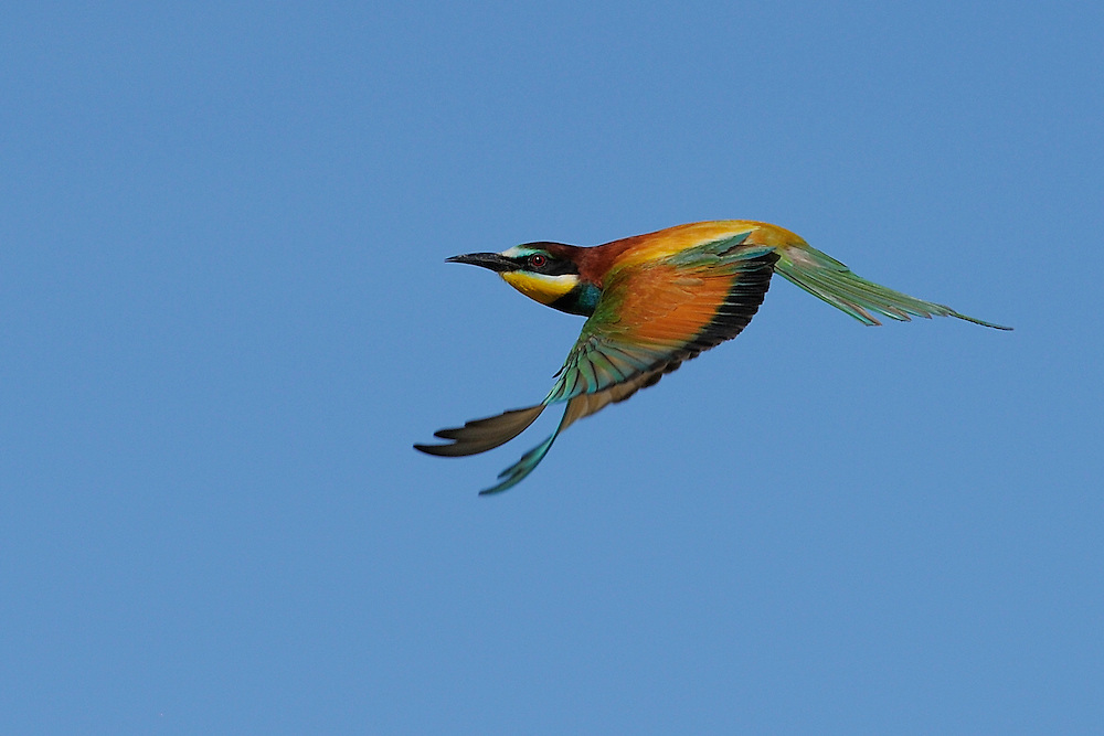 European bee-eater, Merops apiaster, at breeding site, Danube delta rewilding area, Romania