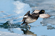 Lesser Scaup, Aythya affinis, male, Detroit River, Ontario