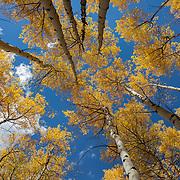 Aspen trees form a canopy of Fall color against a brilliant blue sky near Aspen, Colorado.