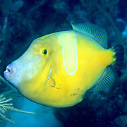Caribbean Filefish