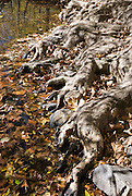 Tree roots grasp the banks of Eno River, in Eno River State Park, which is in Durham and Orange Counties, North Carolina, USA. Native Americans of the Eno, Shakori and Occoneechee tribes lived along the river prior to European settlement. Some of the tribes merged in the late 17th century and established a village near present-day Durham. Settlers moved to the area later to set up farms and more than 30 mills along the length of the Eno River.  Efforts to establish Eno River State Park started in 1965 when the city of Durham proposed building a reservoir in the river valley. A group of concerned citizens led a campaign to save the Eno and formed the Association for the Preservation of the Eno River Valley. In May 1972, the state of North Carolina approved the park, and the reservoir was not built. In 1975, the state--with help from the Eno River Association and the Nature Conservancy--acquired more than 1,000 acres (4 km²) of land for the park.