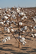 27 September 2011-Cotton Harvest in Tunica, Mississippi photographed for FMC on Will Owen's farm.