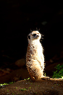 Meerkat in captivity