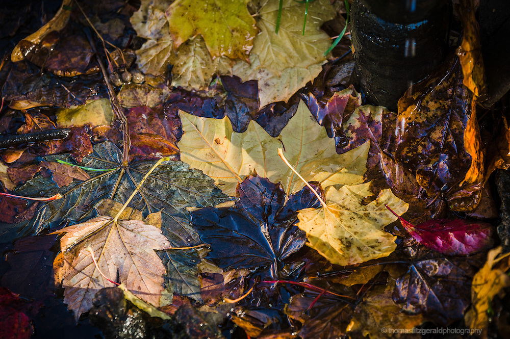 Autumn in Ireland, 2012: Strong colours of Fallen Autumn leaves in fall shades of brown, yellow, orange and red, float on the surface of the canal water in Dublin, Ireland
