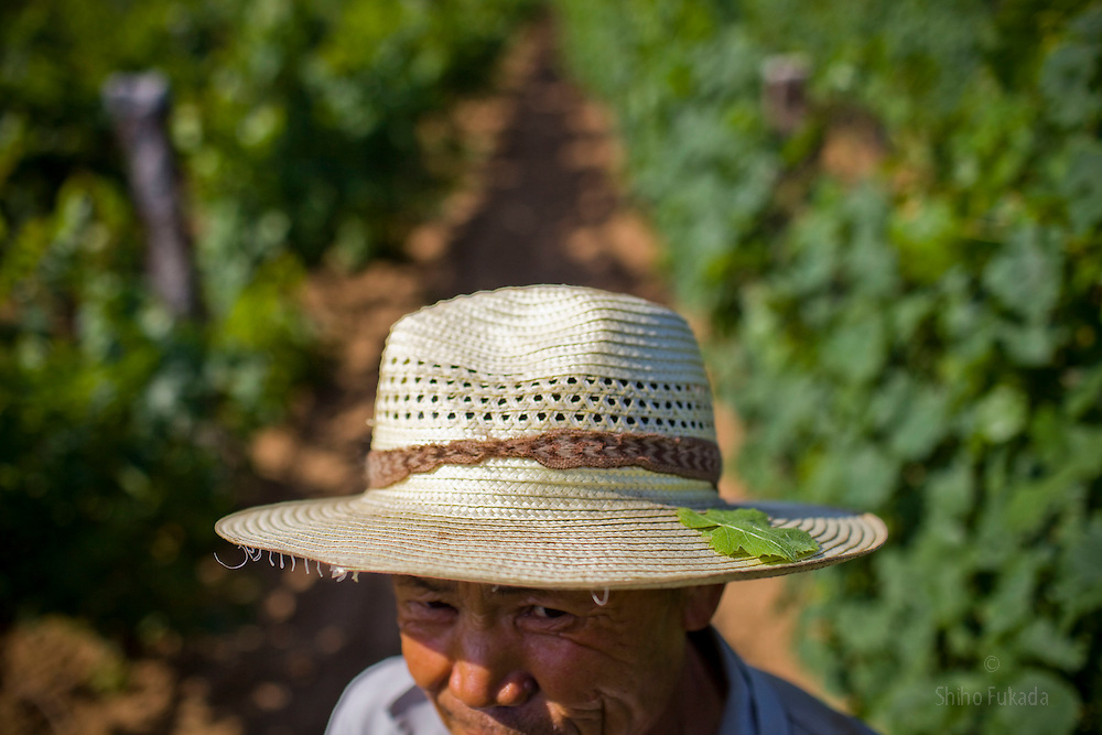 Farmer Li Guangfu works in the Huadong Winery in Qingtao, China, June 23, 2009.