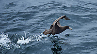 Southern Giant Petrel attempting to take-off from the water. Viewed from the deck of the MS Fram in the South Atlantic between Ushuaia and the Falkland Islands. Image taken with a Nikon Df camera and 80-400 mm VRII lens (ISO 450, 400 mm, f/5.6, 1/2000 sec). Raw image processed with Capture One Pro 8 and Photoshop CC 2014.