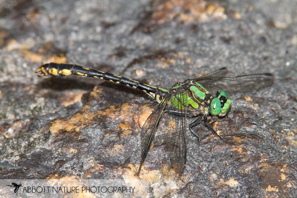 Maine Snaketail (Ophiogomphus mainensis) - male<br /> MAINE: Washington Co.<br /> West Branch Ingalls Brook<br /> 25.June.2010<br /> J.C. Abbott #2454