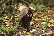 Armadillos (Dasypodids)