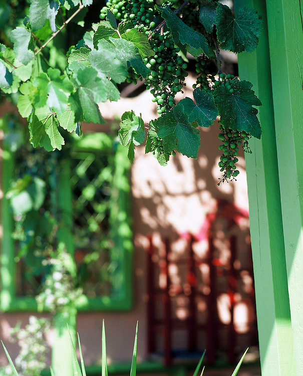 Grapes and vines on Skiathos, Greece