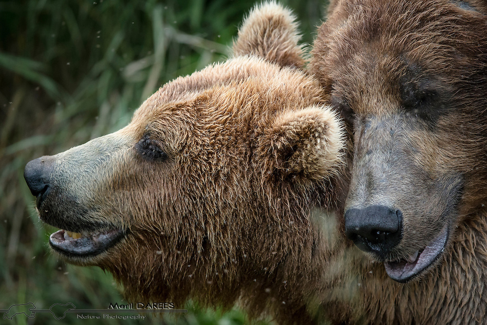 Grizzly bears mating in the grass