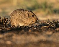Hispid Cotton Rat, Sigmodon hispidus;<br /> Photographer:  Hugh Lieck<br /> Property:  El Potrero Ranch / David &amp; Eline Haunschild<br /> Kleberg County