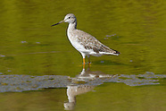 Greater Yellowlegs photos