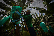 A worker cuts down a racime organic Fairtrade bananas at a plantation of APPBOSA in Peru.