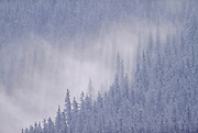 Forest in snow and fog, Vancouver, British Columbia, Canada