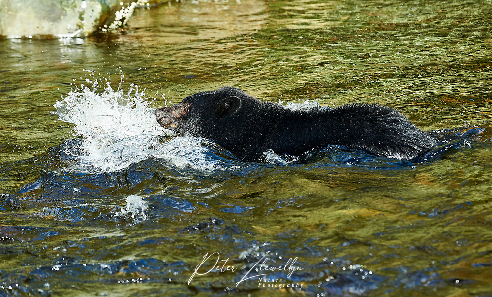 Black Bear (Ursus americanus) fishing for salmon, Thornton Fish Hatchery, Ucluelet, British Columbia, Canada