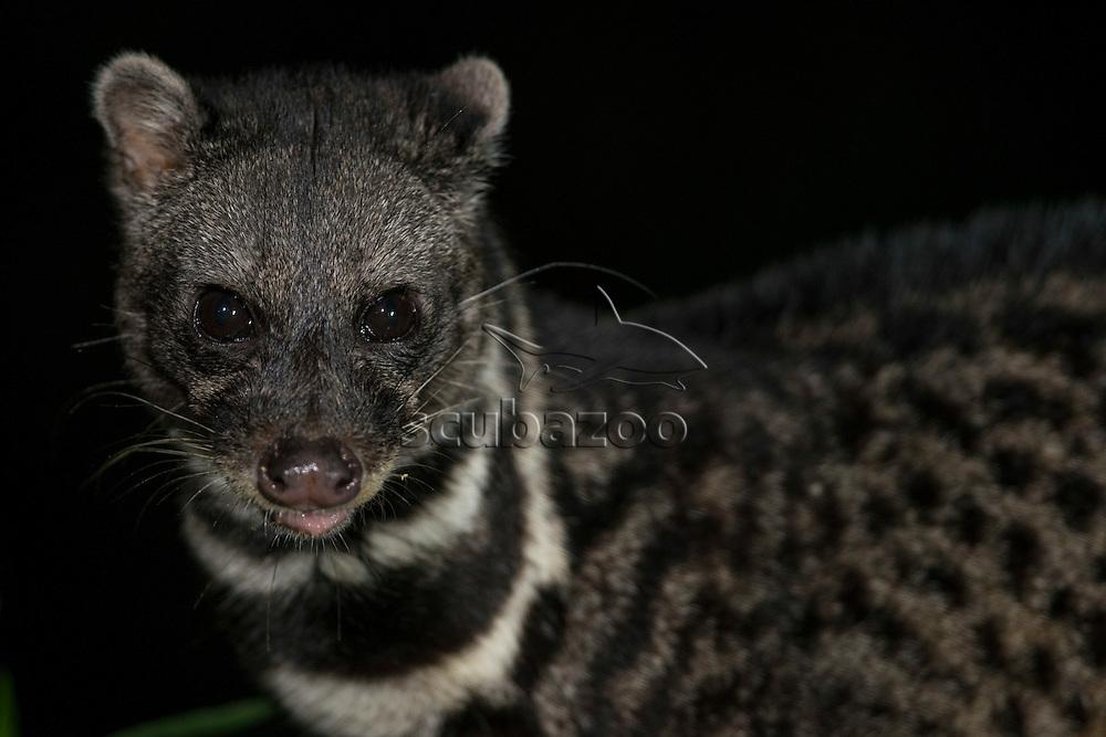 Malay Civet, Viverra tangalunga, Maliau Basin, Sabah, Malaysia, Borneo,