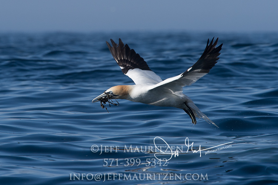 A Northern gannet takes flight with kelp in its bill from the ocean after foraging for nesting material.