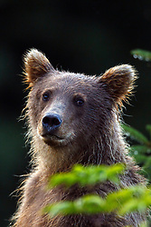 North American brown bear / coastal grizzly bear (Ursus arctos horribilis)cub, Lake Clark National Park, Alaska, United States of America