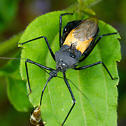 Sycanus collaris Assassin bug in Pang Sida National Park, Thailand.