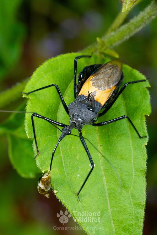 Sycanus collaris Assassin bug in Pang Sida National Park, Thailand.