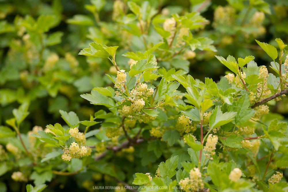 Alpine currant (Ribes alpinum),