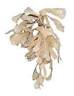 Hornwrack - Flustra foliacea