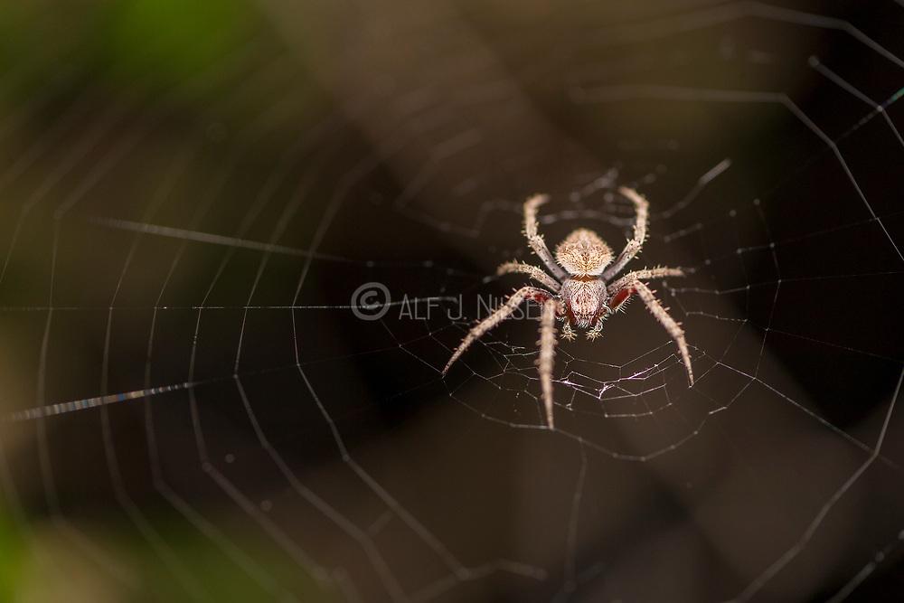 Unidentified spider from Komodo National Park, Komodo island, Indonesia