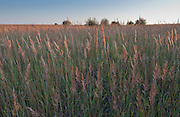 Indian Grass on the prairie at Webster Wildlife Area, Kansas